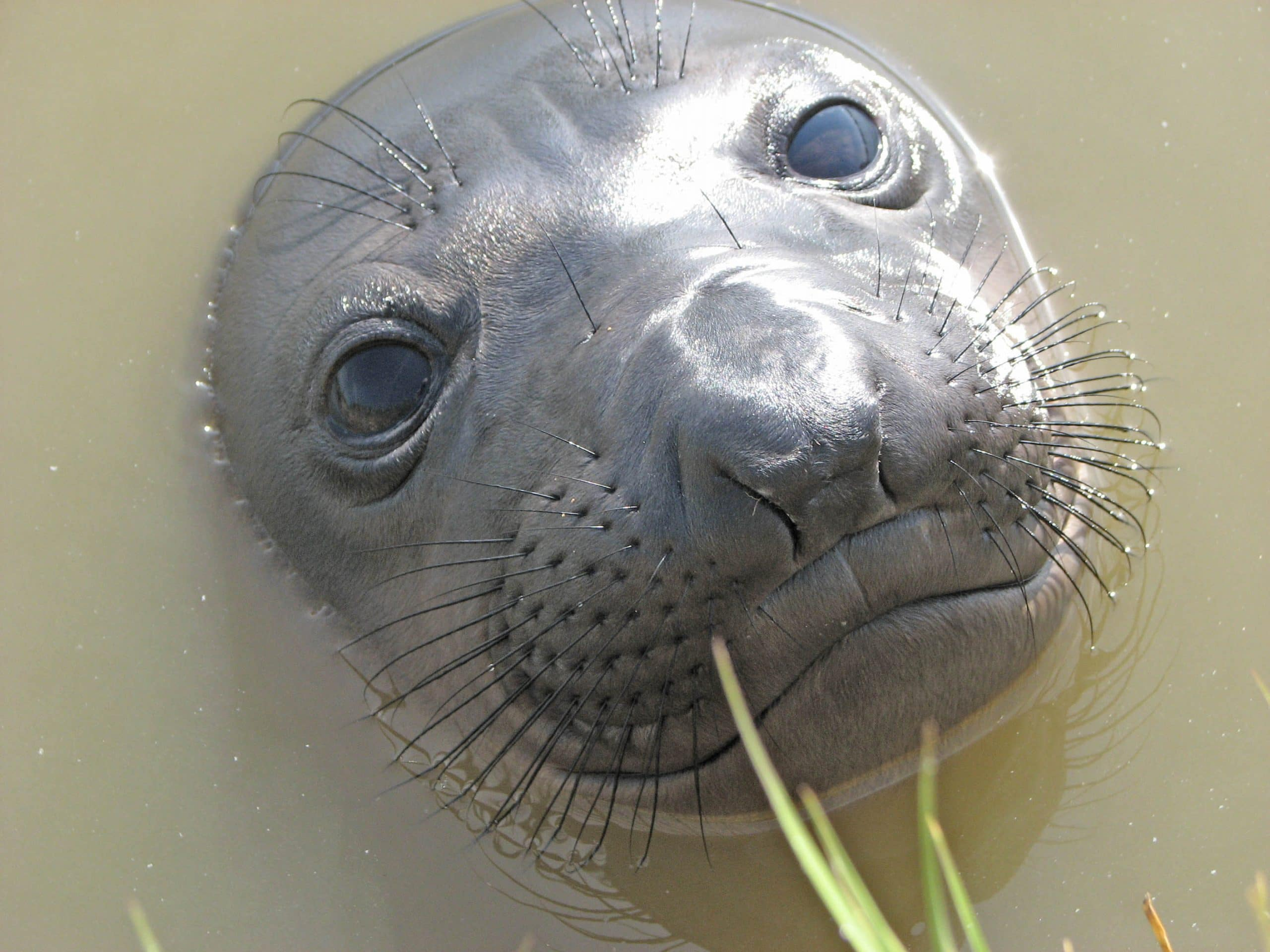 elephant seal vision