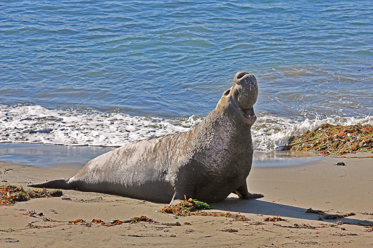 elephant seal facts