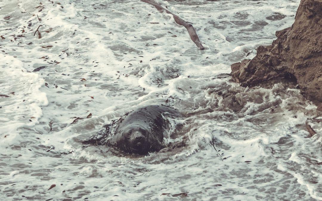 Lifespan of an Elephant Seal