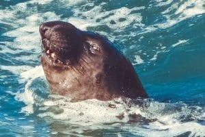 elephant seal deep dive