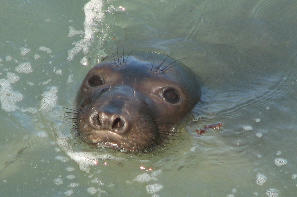 Elephant Seal Vital Statistics