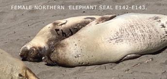 Female northern  elephant seal E142-E143.