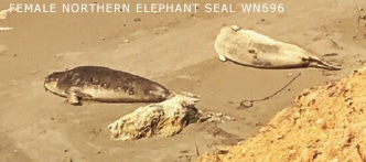 Female northern  elephant seal WN696.