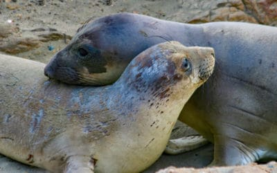 Take a Virtual Field Trip to visit the Juvenile Seals at the Fall Haul-out (Piedras Blancas Northern Elephant Seal Rookery)