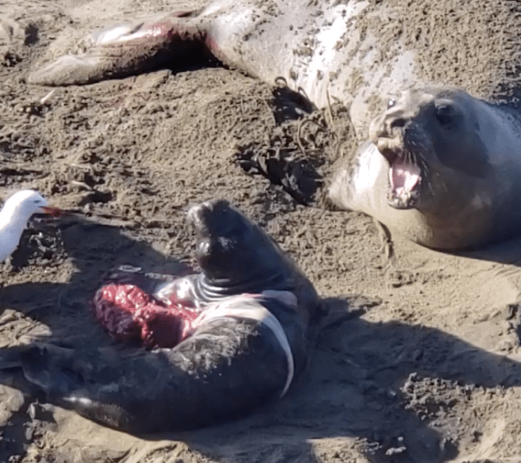 New Year's Eve Birth at Piedras Blancas Elephant Seal Rookery