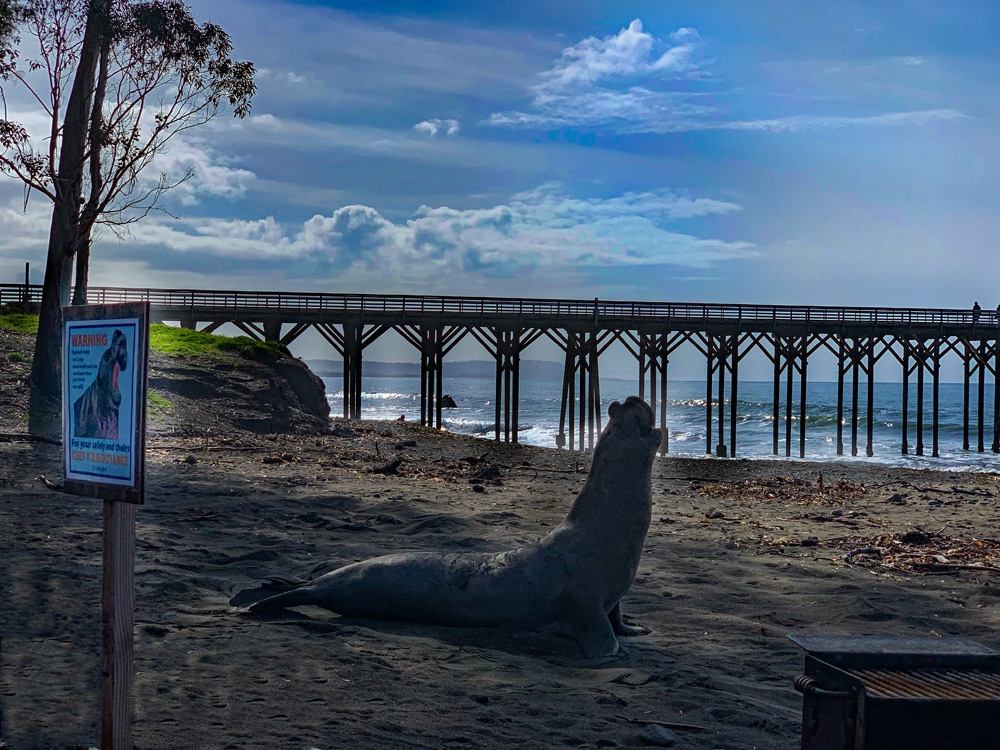 A northern elephant seal bull at William R. Hearst Memorial Beach