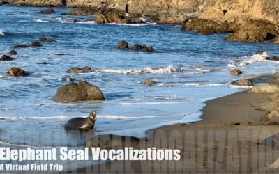 Elephant Seal Vocalizations- A Virtual Field Trip
