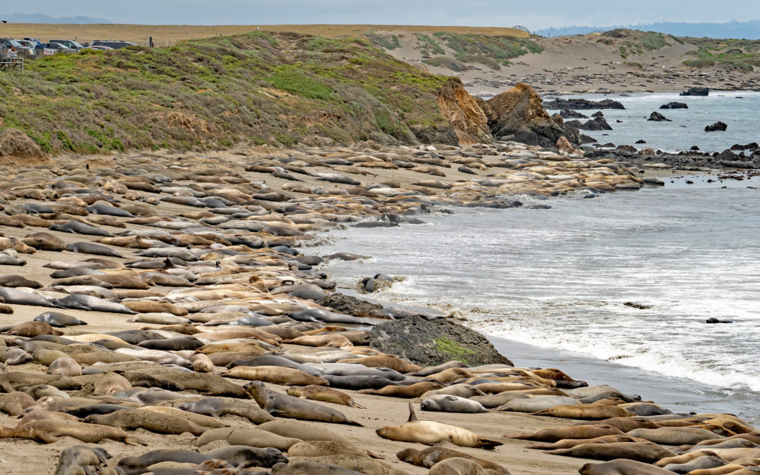 #MoltingMiroungas: Learn about Molting Elephant Seals (in 14 languages!)